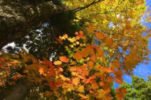 氷ノ山・鉢伏山の紅葉が見頃です