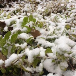 ハチ高原に初雪