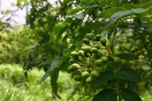 山椒・梅の収穫の季節です!