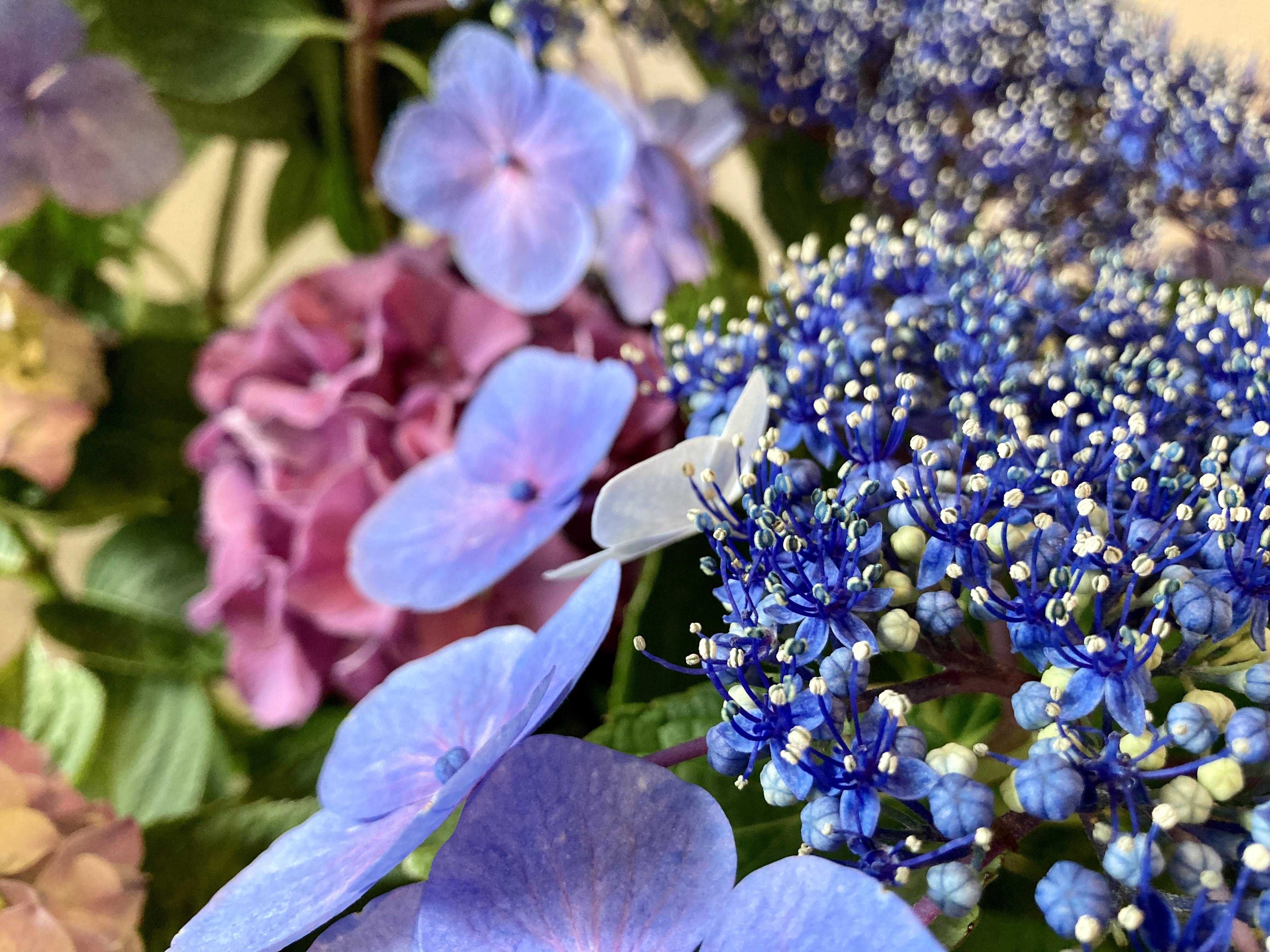 紫陽花 ハチ高原 グリーンホテルやまなみ 梅雨明け